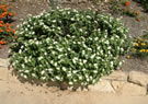 White Trailing Lantana
