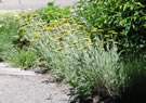 Coronation Gold Hybrid Yarrow